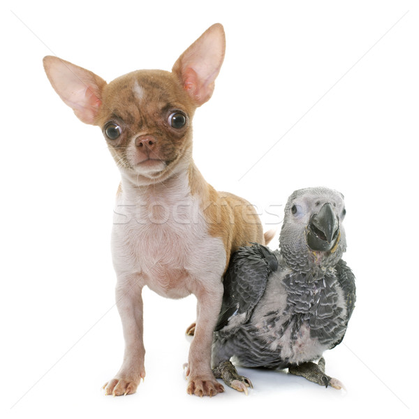 baby gray parrot and puppy chihuahua Stock photo © cynoclub