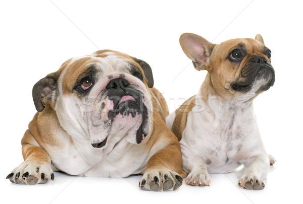Inglês buldogue francês dois cão amigos Foto stock © cynoclub