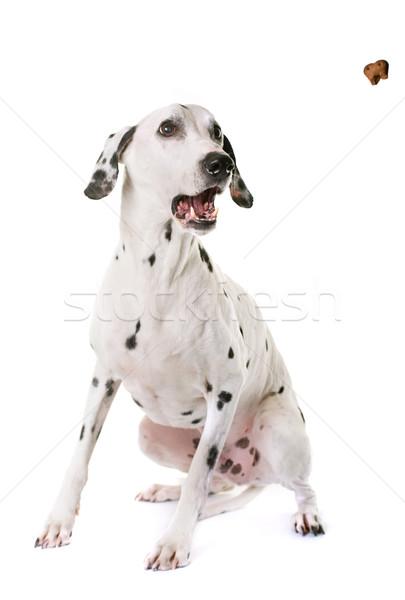 Dálmata perro estudio blanco alimentos diversión Foto stock © cynoclub