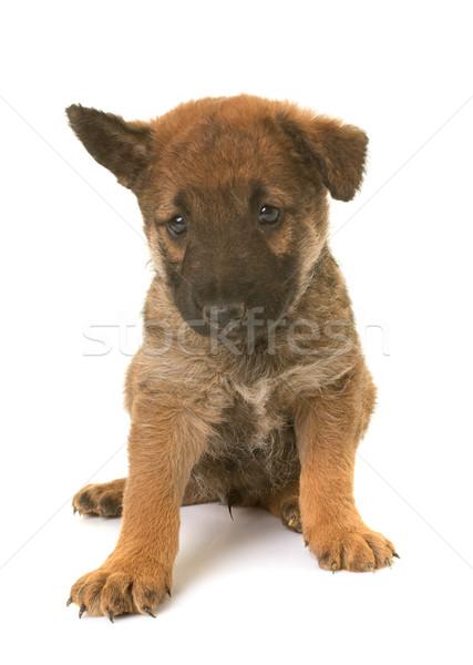 Cucciolo pastore belga cane animale Foto d'archivio © cynoclub