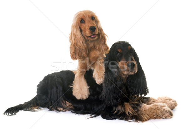 two cocker spaniel in studio Stock photo © cynoclub
