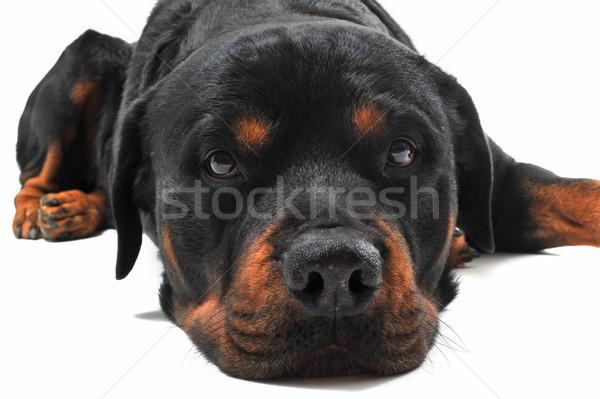 Rottweiler portrait blanche noir tête Photo stock © cynoclub