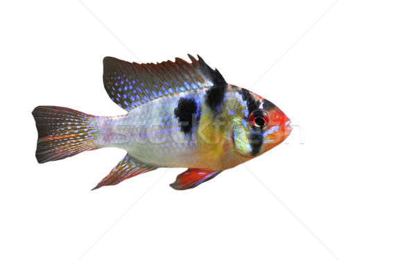 apistogramma ramirezi Stock photo © cynoclub