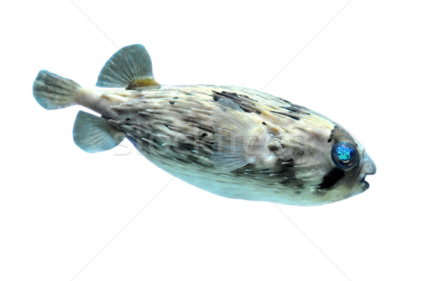 Slender-spined porcupine fish Stock photo © cynoclub
