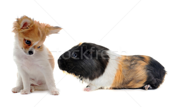 puppy chihuahua and Guinea pig Stock photo © cynoclub