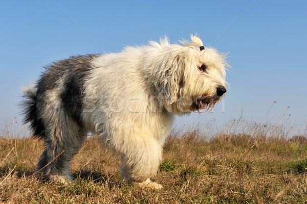öreg angol juhászkutya fajtiszta sétál mező Stock fotó © cynoclub