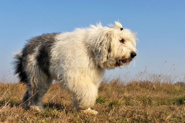 Oude Engels herdershond lopen veld Stockfoto © cynoclub
