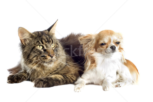 maine coon cat and chihuahua Stock photo © cynoclub