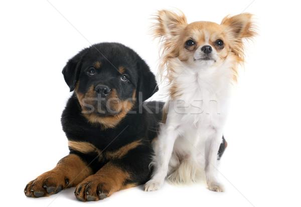 Photo stock: Chiot · rottweiler · portrait · noir · jeunes · amitié
