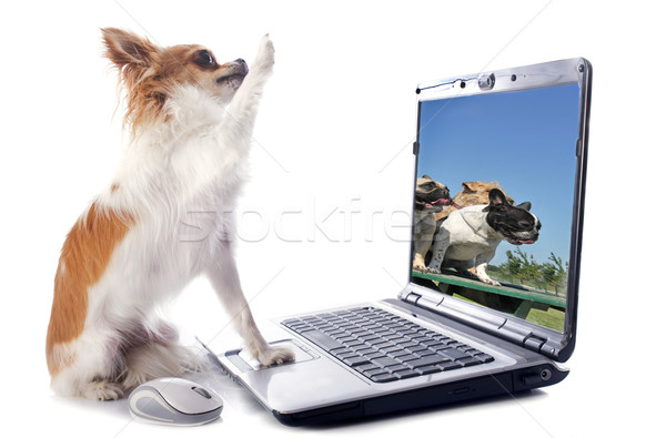 chihuahua and computer Stock photo © cynoclub