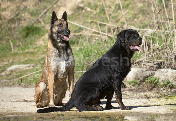 young rottweiler and malinois Stock photo © cynoclub