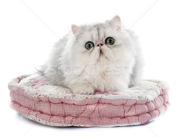 persian cat Stock photo © cynoclub