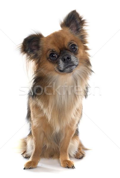 длинные волосы собака студию ПЭТ взрослый белом фоне Сток-фото © cynoclub