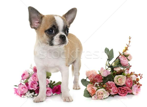 ストックフォト: 子犬 · ショートヘア · 花 · 犬 · 自然 · 白