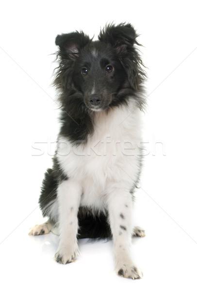 щенков овчарка белый черный молодые Сток-фото © cynoclub