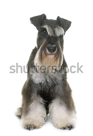 black and white miniature schnauzer Stock photo © cynoclub