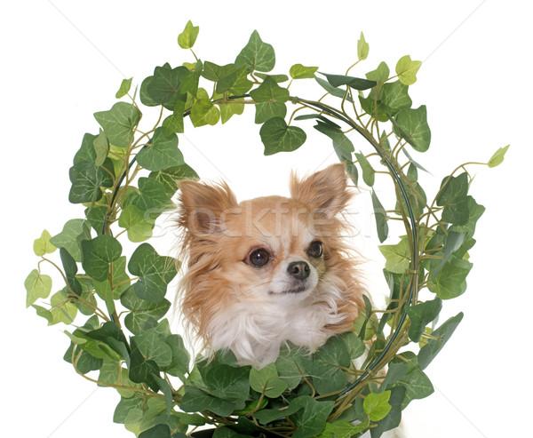 Klimop witte hond tuin plant Stockfoto © cynoclub