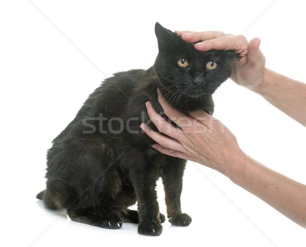 Velho gato preto branco mão preto estúdio Foto stock © cynoclub