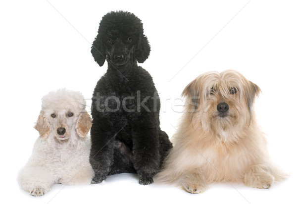 Três cães estúdio branco cachorro animal de estimação Foto stock © cynoclub