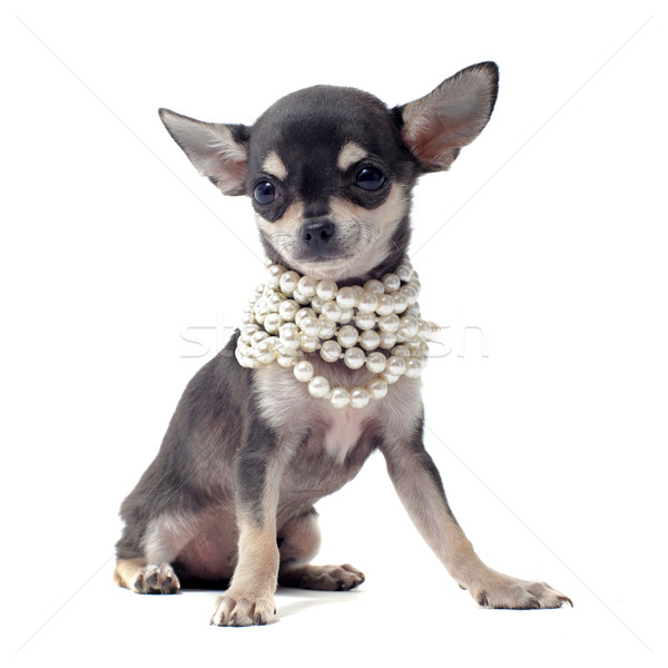puppy chihuahua with pearl collar Stock photo © cynoclub