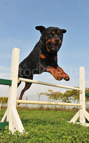 rottweiler in agility Stock photo © cynoclub