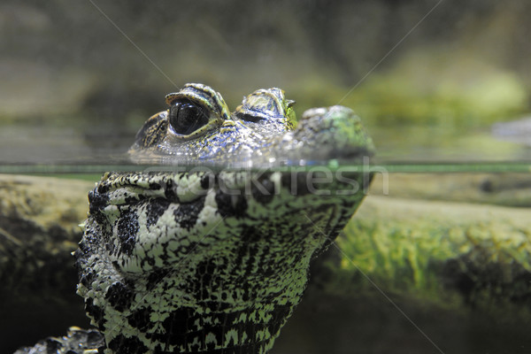 caiman Stock photo © cynoclub