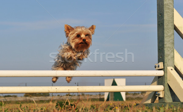 Foto stock: Saltar · yorkshire · pequeño · terrier · día