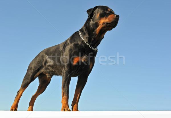 Rottweiler portré fajtiszta kék ég égbolt kék Stock fotó © cynoclub