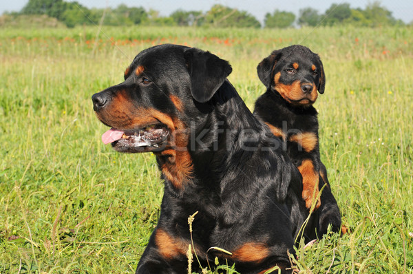 rottweiler and puppy Stock photo © cynoclub
