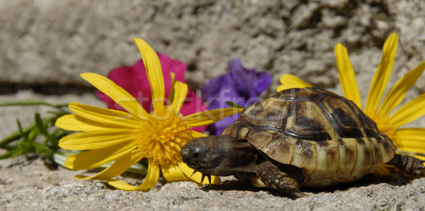 little turtle and flowers Stock photo © cynoclub