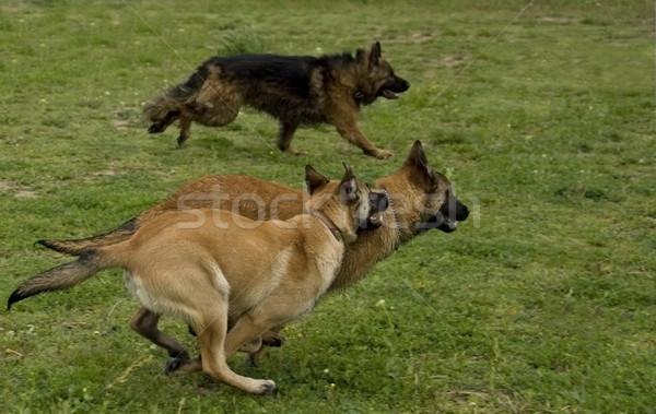 Stok fotoğraf: çalışma · köpekler · üç · iki · yavru · bir