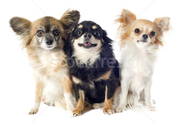 Portré aranyos fehér háttér kutya kutyák Stock fotó © cynoclub