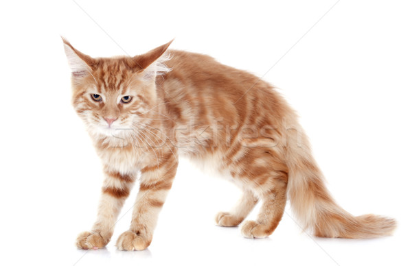 angry maine coon kitten Stock photo © cynoclub