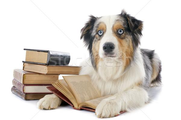 Australisch herder boeken witte hond Stockfoto © cynoclub