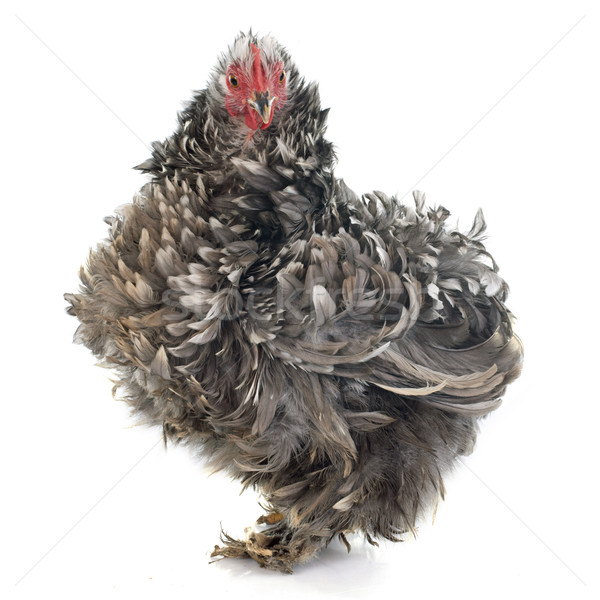 Curly Feathered chicken Pekin Stock photo © cynoclub