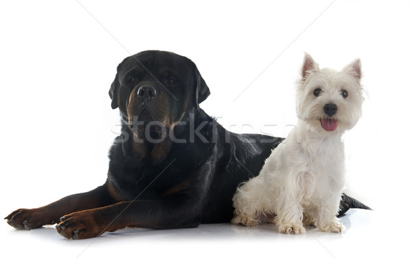 west highland terrier and rottweiler Stock photo © cynoclub