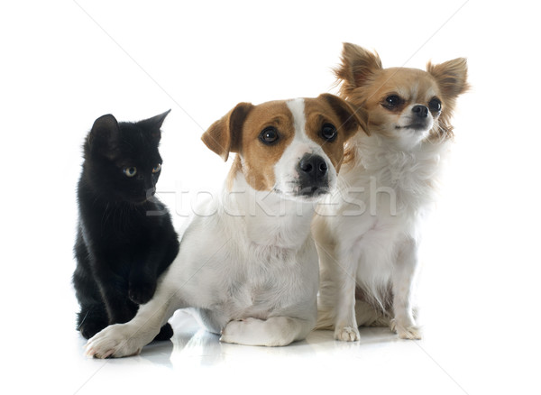 jack russel terrier kitten and chihuahua Stock photo © cynoclub