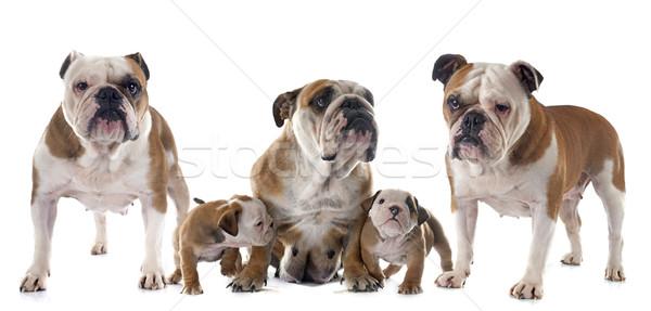 family english bulldog Stock photo © cynoclub