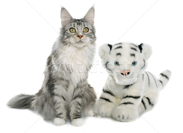maine coon cat and tiger toy Stock photo © cynoclub