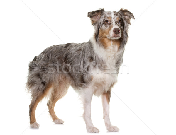 tricolor australian shepherd Stock photo © cynoclub