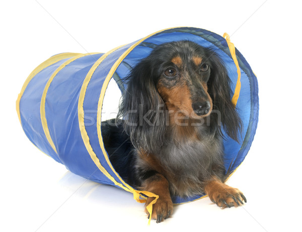 dachshund  in agility  Stock photo © cynoclub