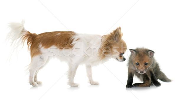 red fox cub and chihuahua Stock photo © cynoclub