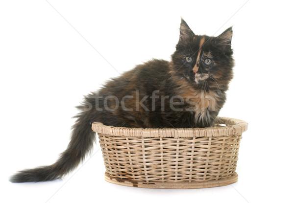 Maine kitten witte kat vrouwelijke mand Stockfoto © cynoclub