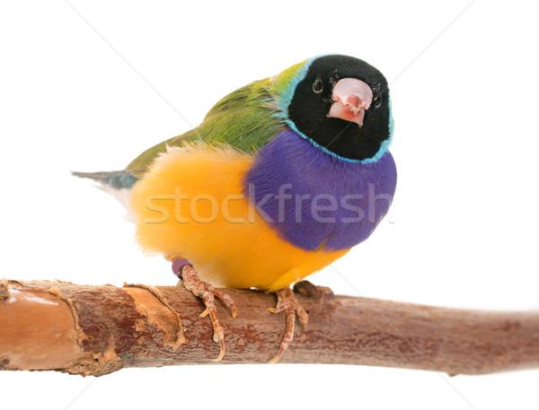Gouldian finch in studio Stock photo © cynoclub