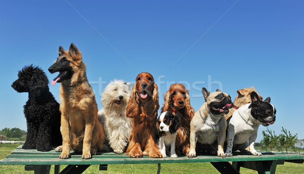 nine dogs Stock photo © cynoclub
