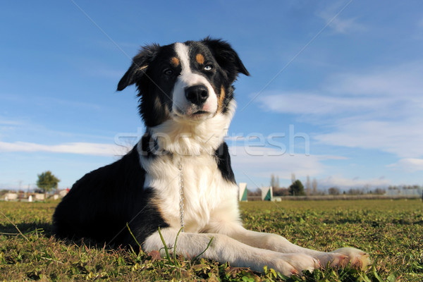 border collie Stock photo © cynoclub