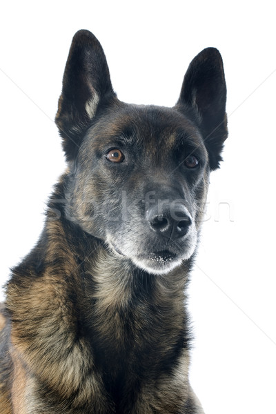 çoban köpeği kar stüdyo güzel kıdemli Stok fotoğraf © cynoclub