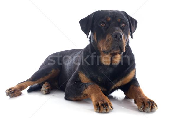 Rottweiler portre beyaz siyah stüdyo Stok fotoğraf © cynoclub