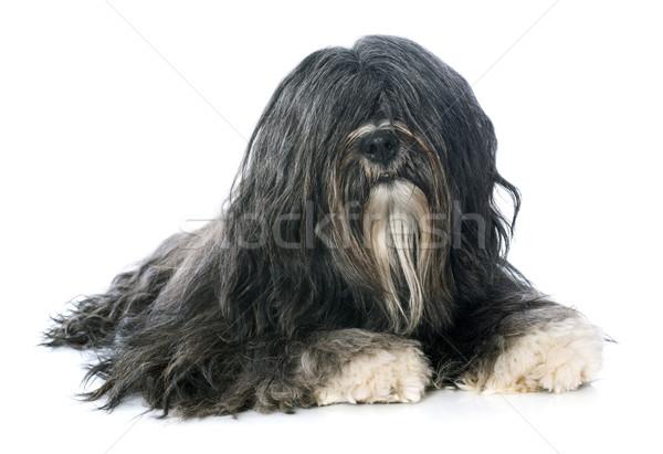 Stock photo: Tibetan terrier