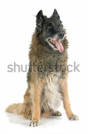 Vecchio pastore belga bianco cane animale Foto d'archivio © cynoclub